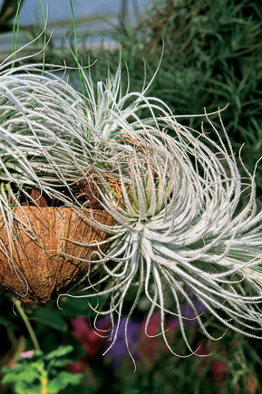 T.  tectorum (grigia)